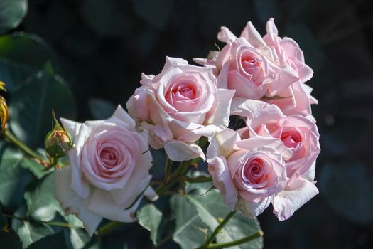 roses, pink, buds