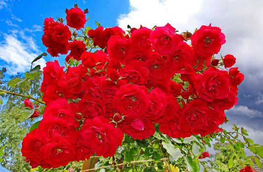 rosebush, Red roses, roses, many