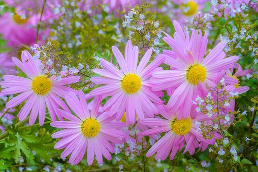 chrysanthemum, pink, petals