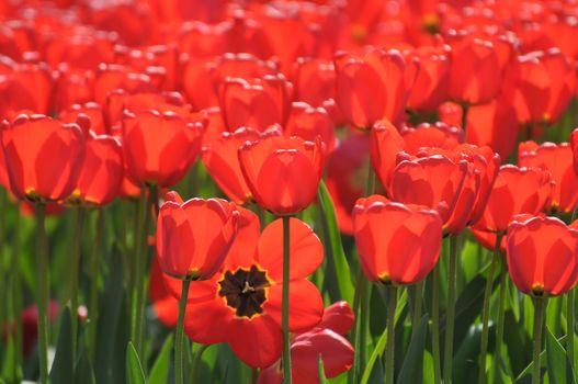 tulipanes rojos, tulipanes, muchos, papilas