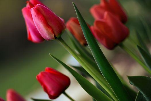 tulipanes rojos, tulipanes, papilas