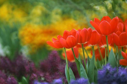 tulipanes rojos, tulipanes, caderas