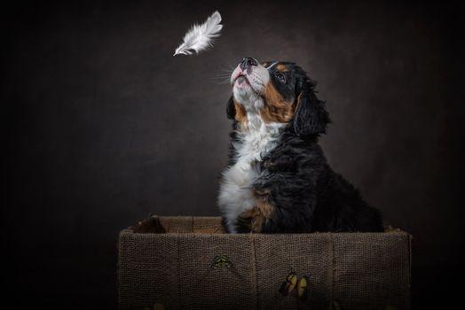 cachorro, Bernskiy, perro, zennenhund Bernskiy