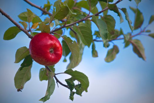 Apple tree, An Apple, branches, leaves, sky, nature