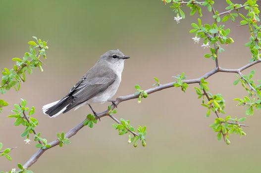 Jacky Winter, Microeca fascinans, bird on branch