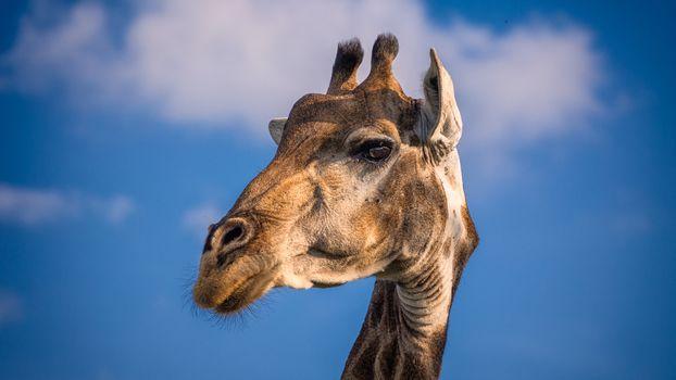 Жираф большой, ему видней (5 шт)
