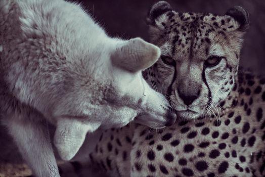 Cheetah, dog, kiss, friends, friendship, monochrome