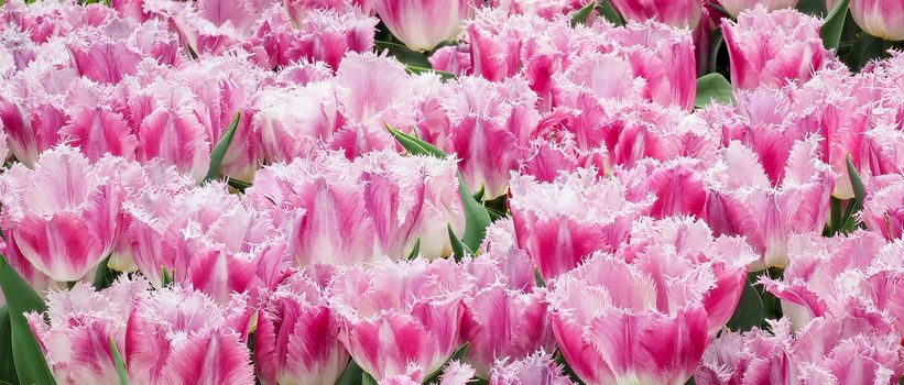 tulips, pink, buds, many