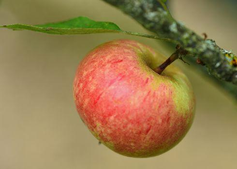 An Apple, fruit, branch, macro, background