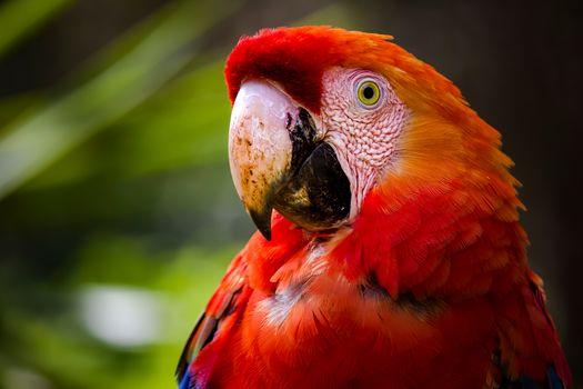 Красный ара, попугай, птица