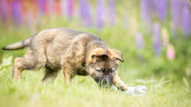 perro, naturaleza, cachorro, pastor alemán, flores, prado