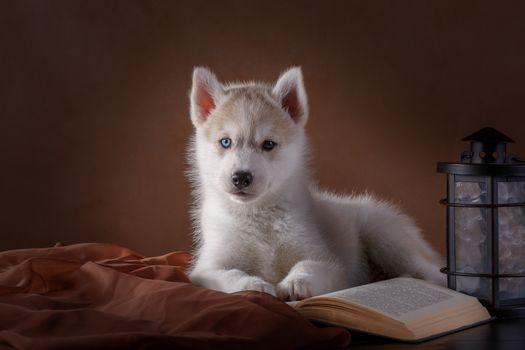 Husky siberiano, perros esquimales, perro, cachorro, vista, libro, linterna
