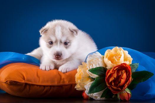 Husky siberiano, perros esquimales, perro, cachorro, vista, flores, almohada