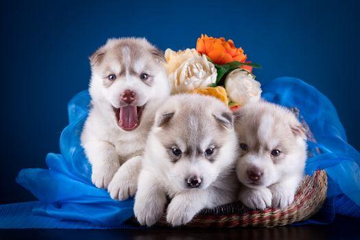 Siberian husky, Huskies, dogs, puppies, trio, trine