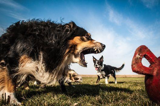 Australian Shepherd, Aussi, Border-Collie, dogs, anger