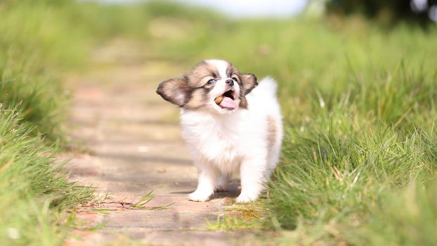 King Charles Spaniel, Papylon, perro, cachorro, bebé, hierba, caderas