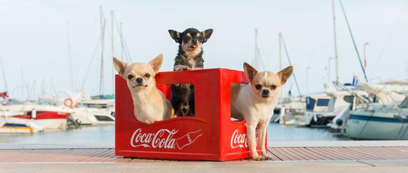 Chihuahua, dogs, trine, trio, box, berth, harbor, yacht, hips