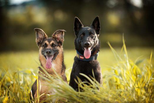 dogs, Shepherd, duet, languages, grass