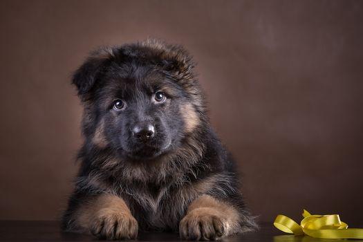 dog, puppy, German Shepherd, background, bow
