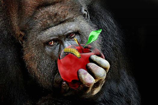 Fakemanipulation, fotomanypulyatsyya, art, photoshop, a monkey, An Apple, worm