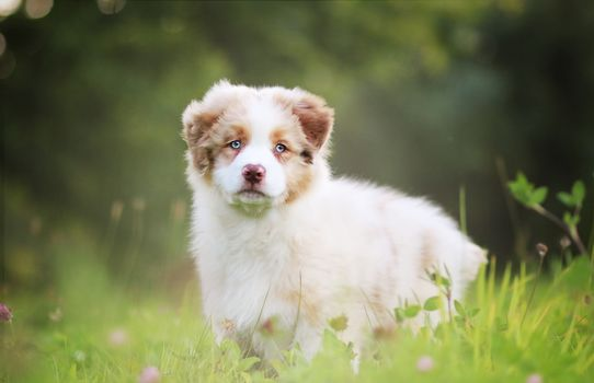 Australian Shepherd, aussi, cão, cachorro
