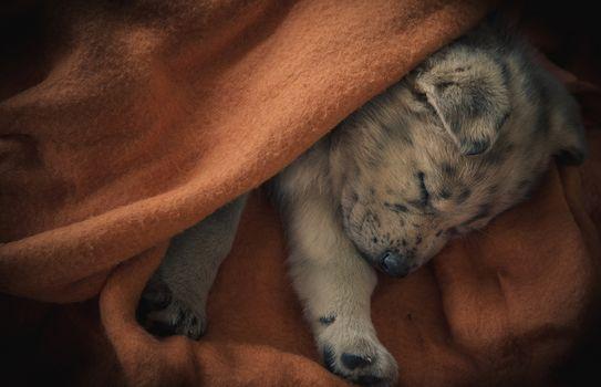 睡眠子犬, 子犬, 犬, 夢, 格子縞の