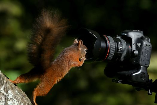 squirrel, Redhead, camera, curiosity