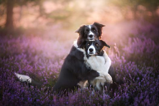 Border-Collie, two dogs, dogs, couple, friends, friendship, heather, hips