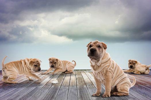 şarpey, dogs, puppies, hamster