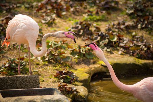 pink flamingos, flamingo, birds, couple