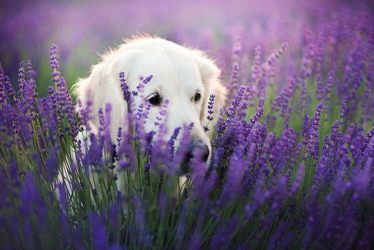 Little dog in lavender