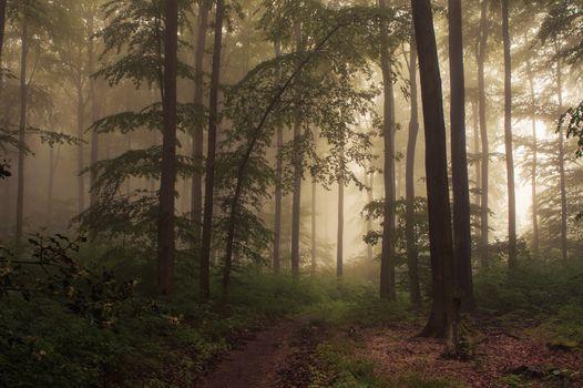 forest, trees, nature, landscape, track, fog, shadow, leaves, summer