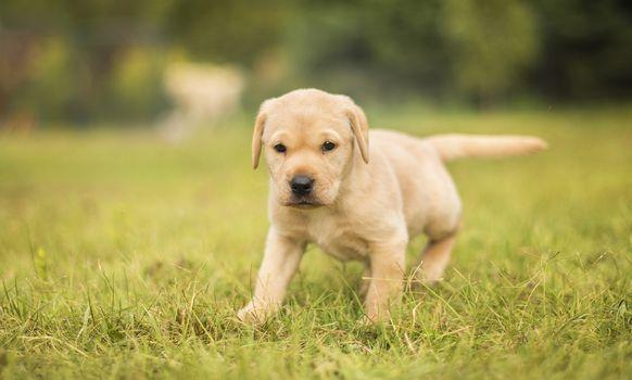 ラブラドル・レトリーバー犬, 犬, 子犬, 草, ヒップ