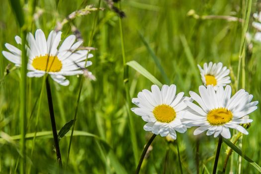 chamomile, love does not love, summer