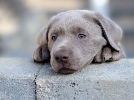 Labrador retriever, dog, puppy, mordashka