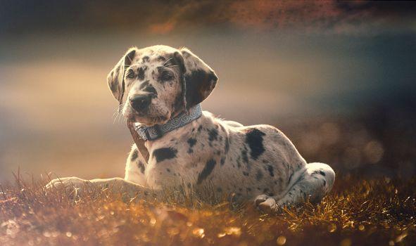 dog, puppy, collar