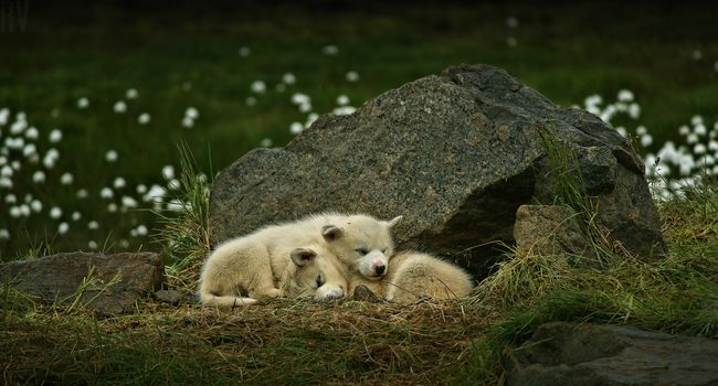 Greenland dog, Greenland, dogs, puppies, sleeping, couple, a rock