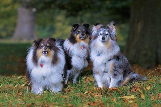 selten, shetlendskaya Shepherd, dogs, trio, trine, autumn
