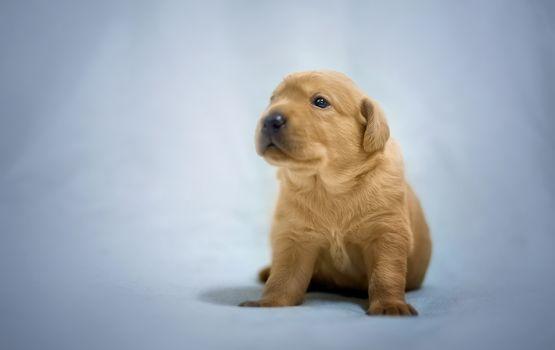 ラブラドル・レトリーバー犬, 犬, 子犬, 赤ちゃん, 背景
