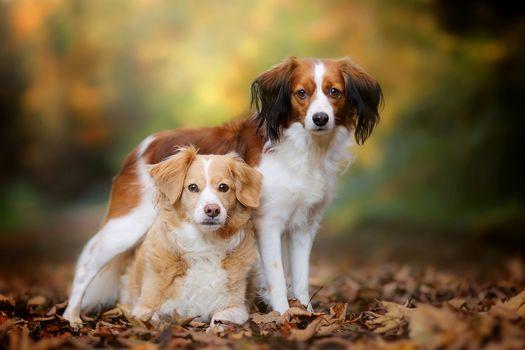 kooikerhondje, Bretonskiy эpanyoly, dogs, couple, leaves, autumn, hips