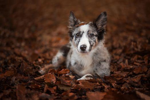 ボーダー・コリー, 犬, 子犬, ビュー, 葉, 秋