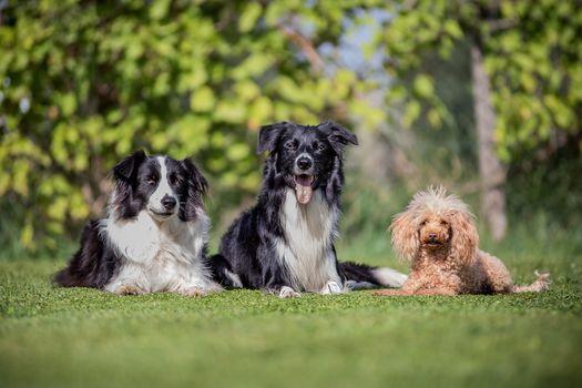 Border-Collie, poodle, dogs, trio, trine, friends, hips