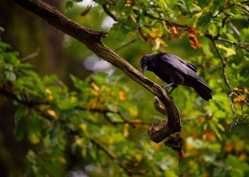 Black Crow, bird, branches