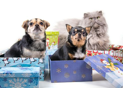 Chihuahua, dogs, Persian cat, cat, cat, trio, trine, boxes, gifts
