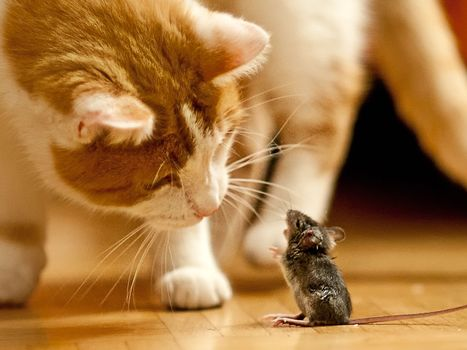 cat, mouse, animals