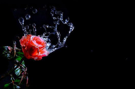 バラ, 花, 水, 滴, スプラッシュ, フローラ, 黒色背景