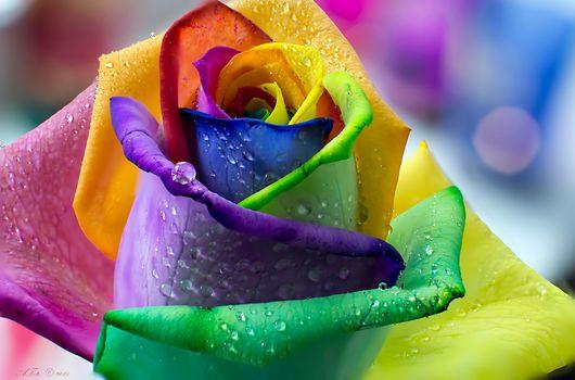 バラ, 花, マクロ, 滴, フローラ