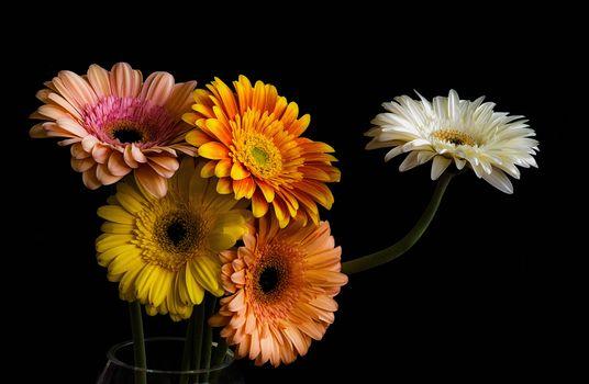 gerberы, flowers, bouquet, flora