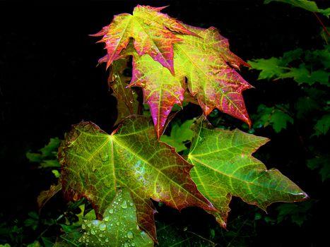葉, メープル, 滴, 自然