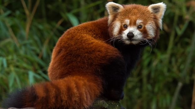 panda, little panda, Red panda, animals, fauna, mordashka, fluffy, red